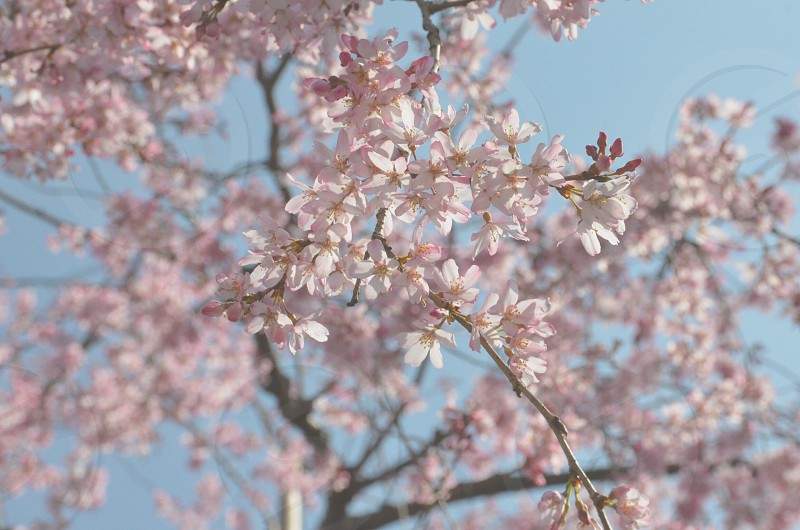 cherry blossoms flower photo