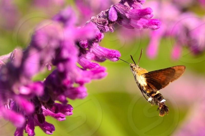 hawk moth lepidoptera hover wild wildlife nature June summer Season wings blur proboscis nectar flower macro purple   photo