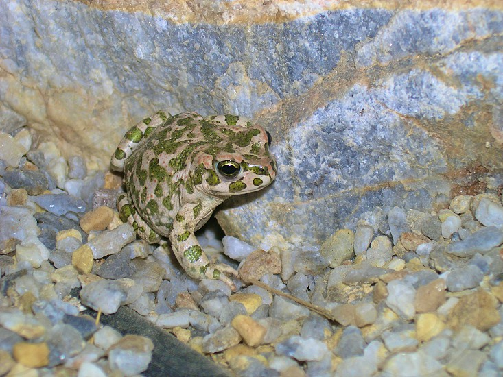 Spotted frog photo