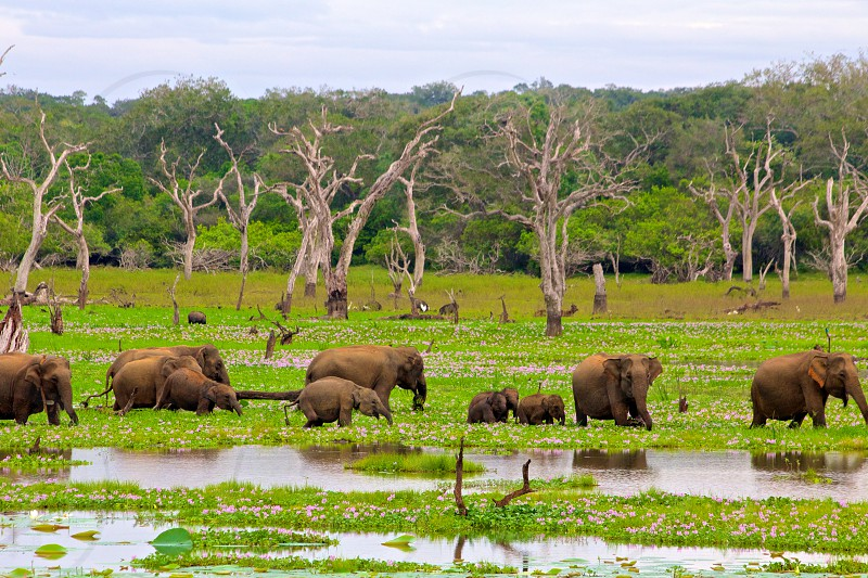 Elephant family taking a stroll.  Yala National Park Sri Lanka photo