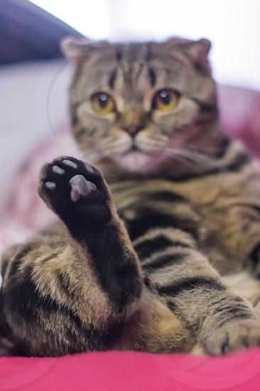 scottish fold cat lying on it's back photo