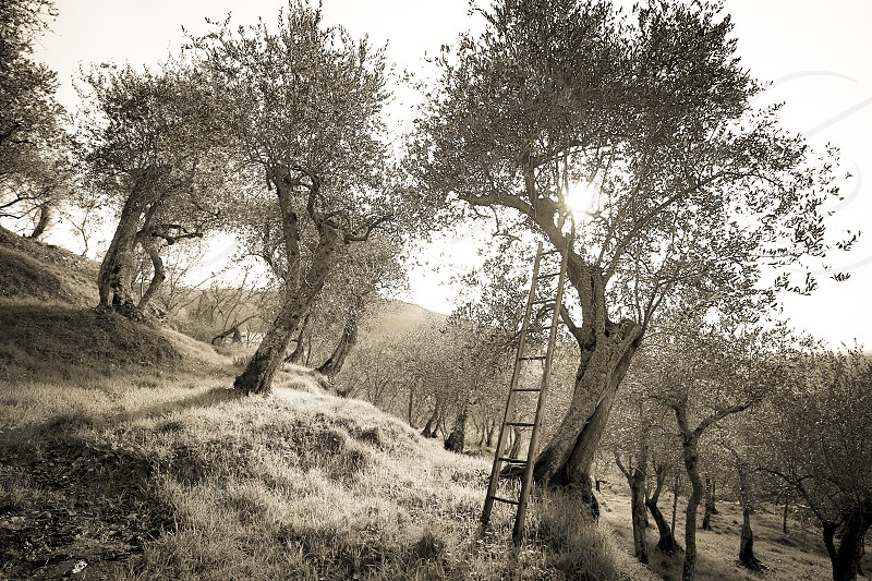 Landscape with ancient olive trees of the Pisan countryside  photo