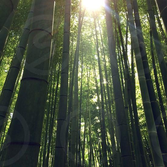 sun rising behind green bamboo trees photo