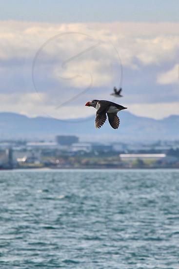 puffins in flight photo