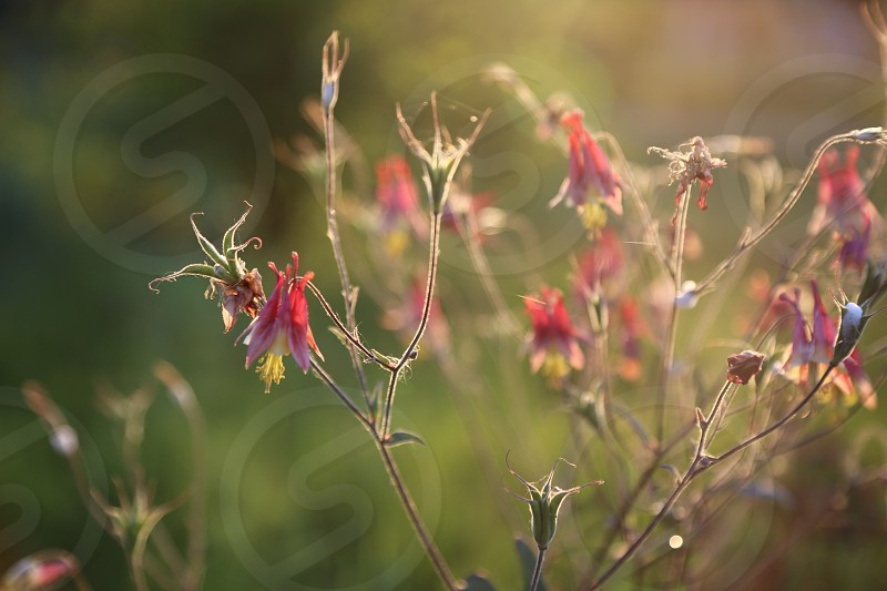 Flower flowers field flowerfield summer pink wild wildflowers nature naturelle  growth weed beauty beautiful backlight  insect insects green summer summertime midsummer light soft focus bloom  wilted faded fade  photo