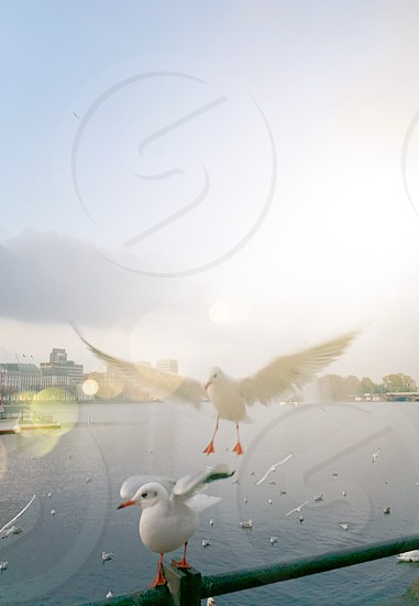 Seagulls water bird city animal freedom  photo
