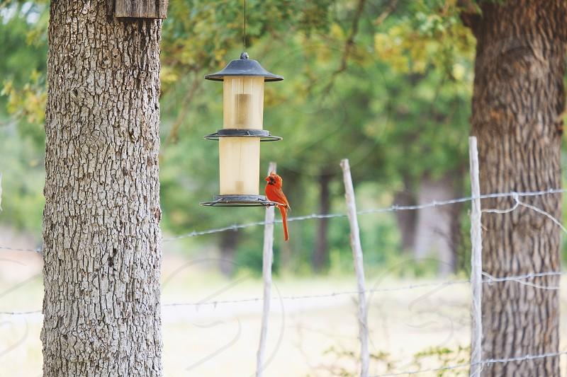 Cardinal bird at feeder in backyard. photo