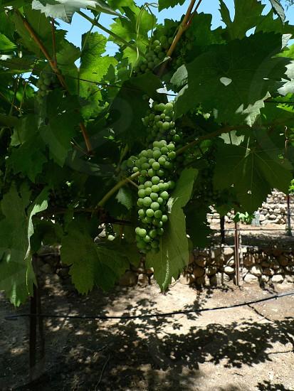 Grape Vine with Unripended Grapes photo
