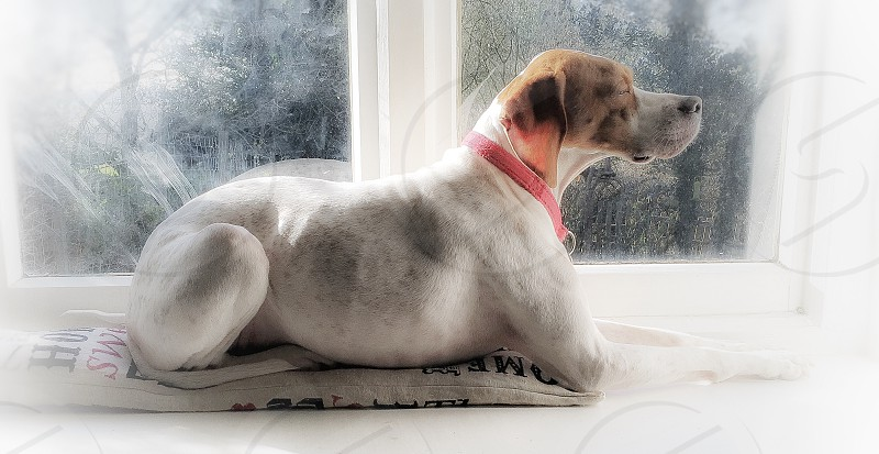adult white and tan English pointer sitting beside glass window photo