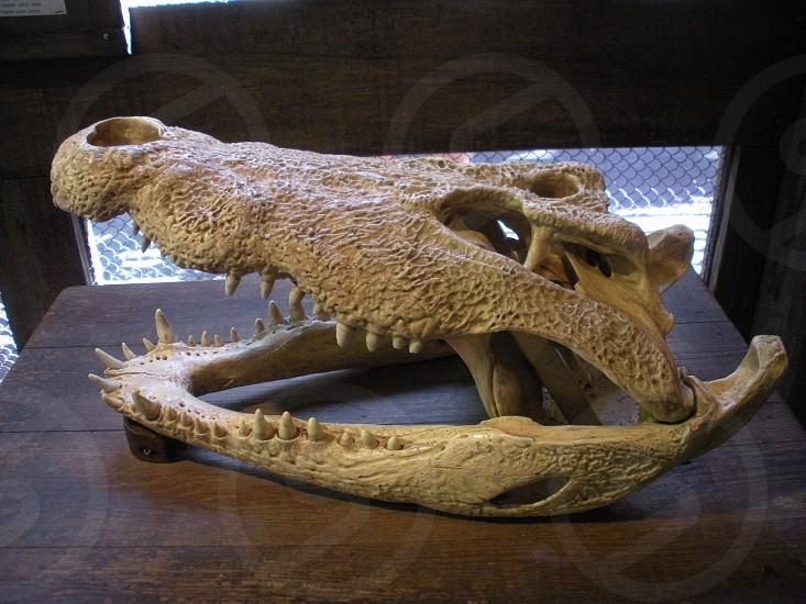 Alligator / crocodile skull. Skeleton teeth sharp bone death   photo