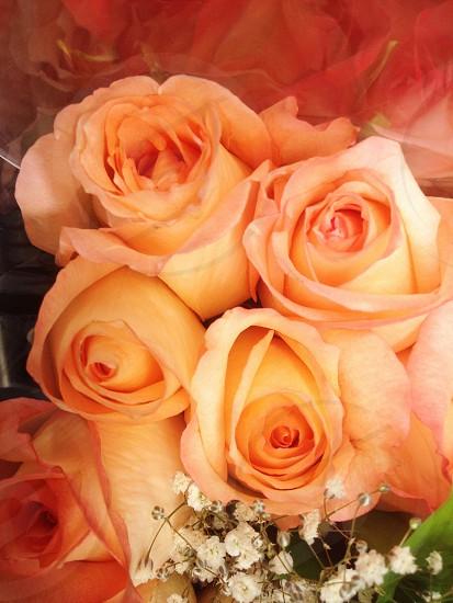 roses flowers orange photo