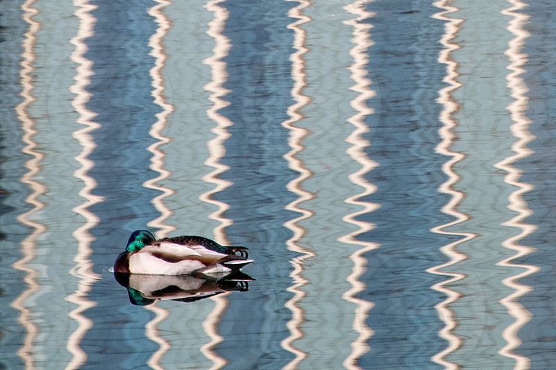 Sleeping duck on a striped bed of water photo