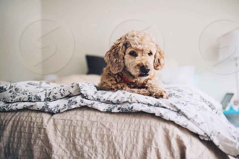 light yellow labrador poodle photo