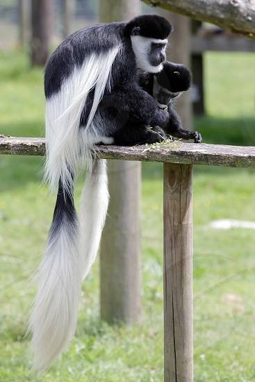 Black and White Colobus (Colubus) photo