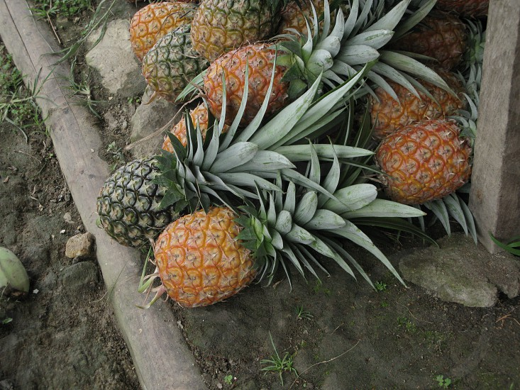 Freshly picked organic pineapples photo