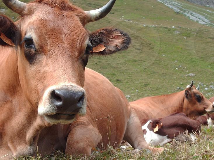 brown ox on green grass field photo