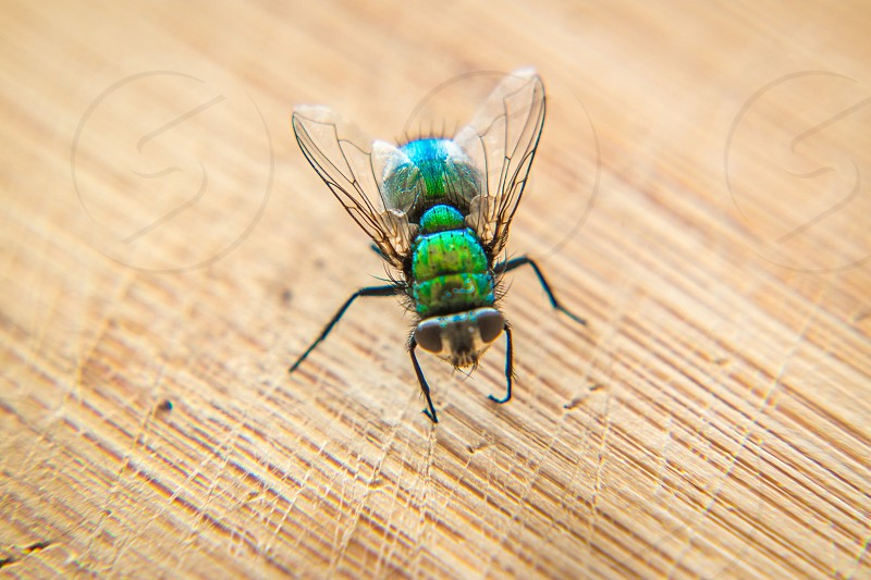 Macro close up of a blue bottle fly on a wooden chopping board photo