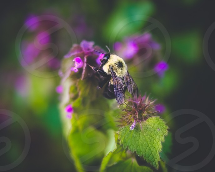 Bumblebee bee spring save the bees pollinators photo