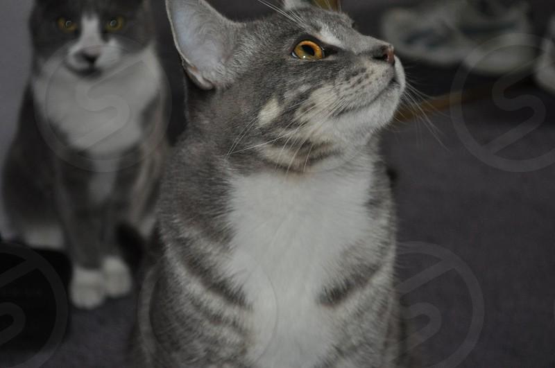 Grey tabby cat animal pet photo bombed  photo