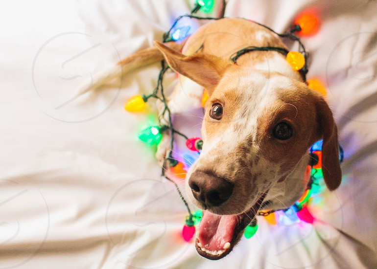 brown short hair dog wrapped with christmas lights photo
