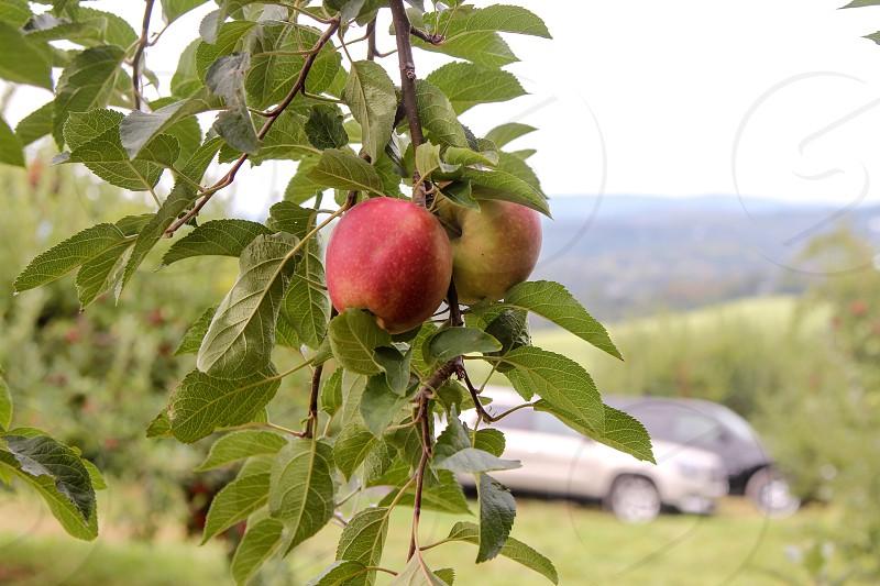 Apple pickingautumn  photo