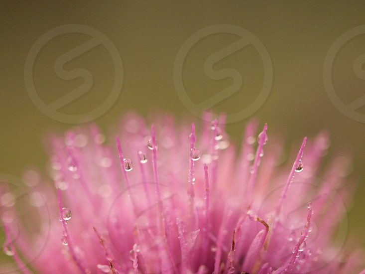 Macro. Flower. Pink. Water droplets. Abstract.  photo