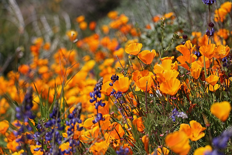 Golden California poppies and wildflowers grow in a super bloom near a lake photo