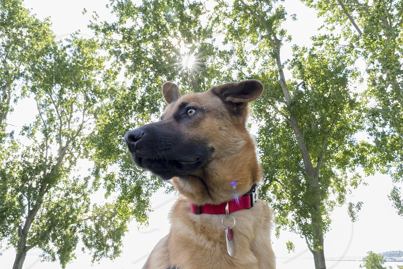 Mixed breed German shepherd with sunburst red collar photo