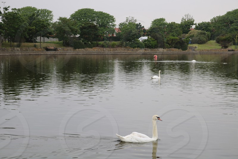 Swans birds lake outdoors photo