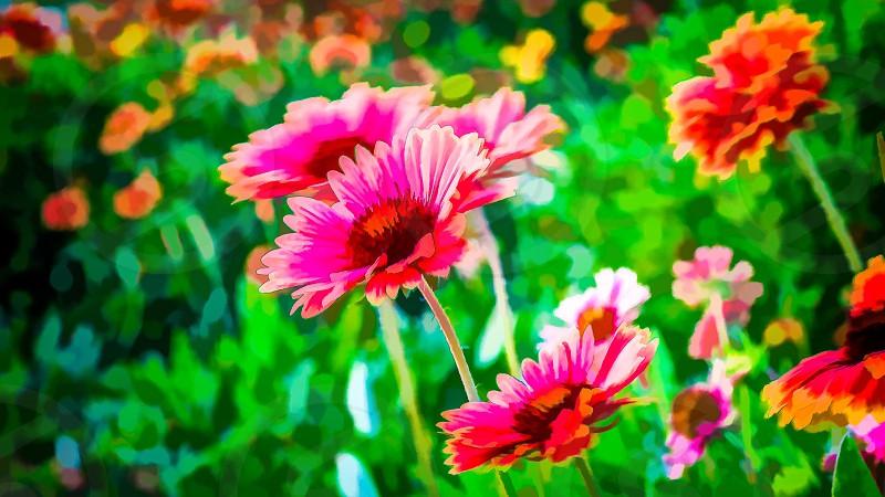 pink white petal flower photo