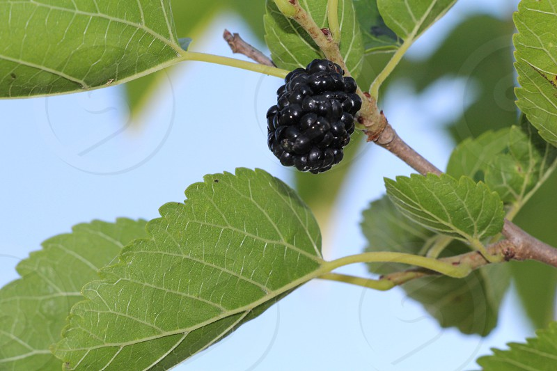 mulberry in spring photo