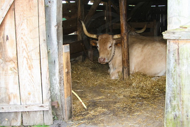 bull lying in a barn photo