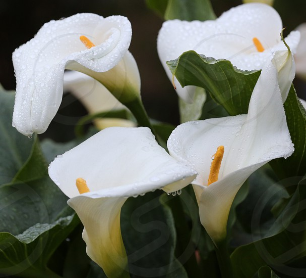 Calla Lillie flowers in after a fresh rain. photo