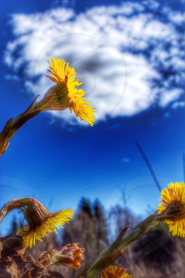 yellow bloomed flower with blue sky background photo