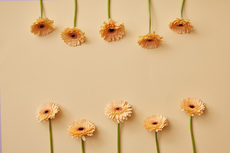 Creative composition of beige flowers gerberas on a beige background as a greeting card for Valentine's Day or Mother's Day with copy space. Top view photo