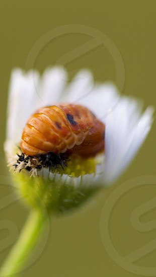 orange pill bug on white flower macro photography photo