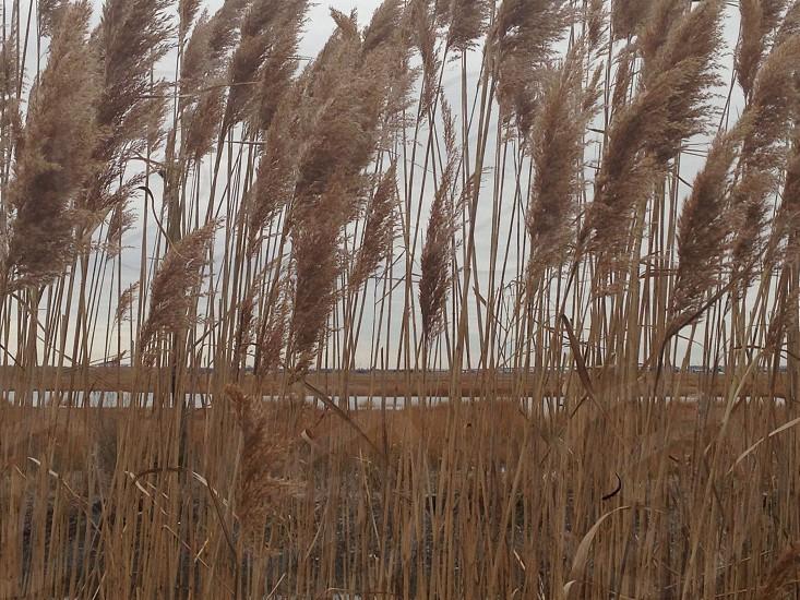 brown wheat field photo