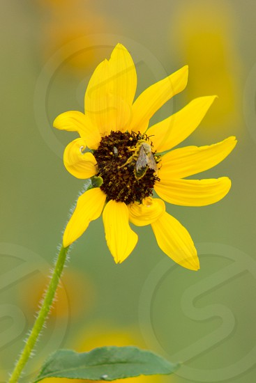 Sunflower and bee photo