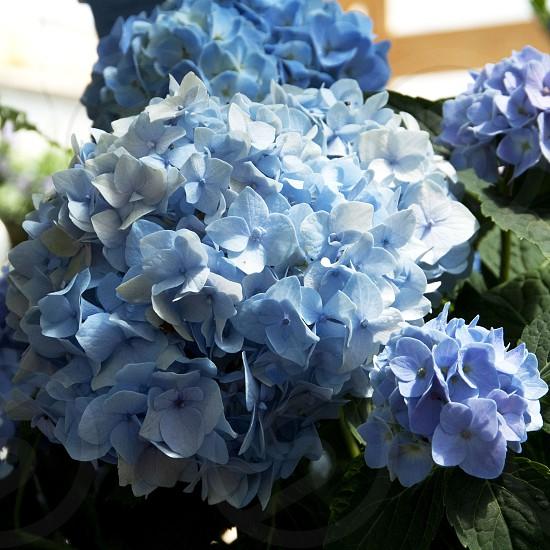 Blue hydrangea blooms photo