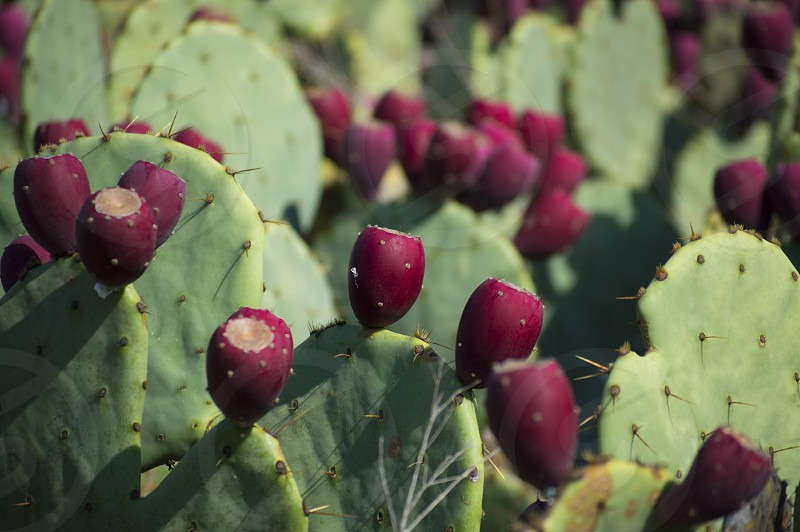 Prickly pear cactus apples on a sunny day photo