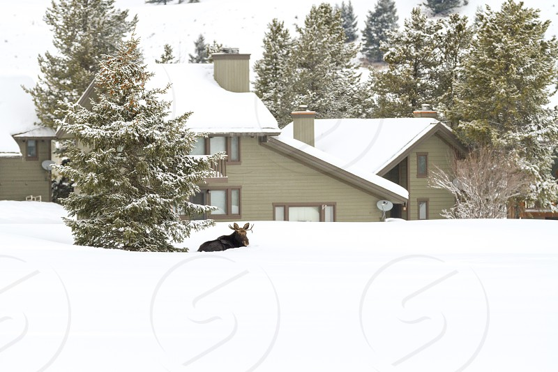A moose hanging out in a green space just outside the Big Sky Town Center in January photo