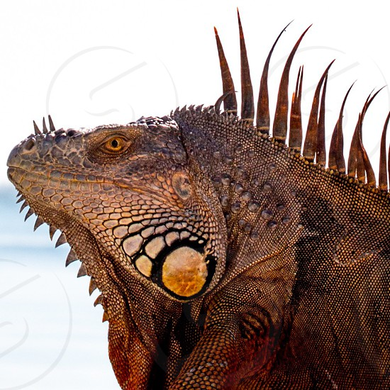 Reptile lizard iguana dragon scales macro macrophotography closeup photo