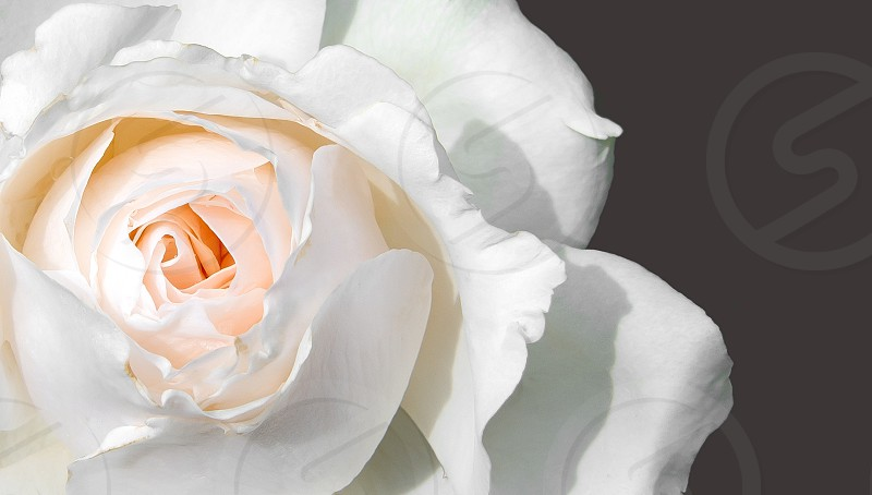 Rose white pink floral photo