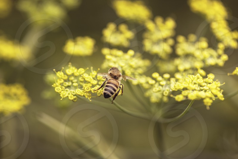 Summer Haze: a honeybee gathering honey on the yellow flowers of the dill working hard and enjoying it photo