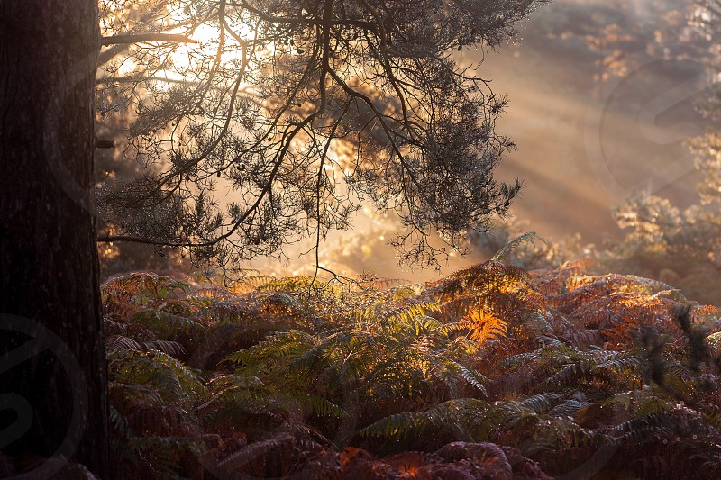 Autumn light through trees with bracken and ferns. Mist fog haze Rays of light photo