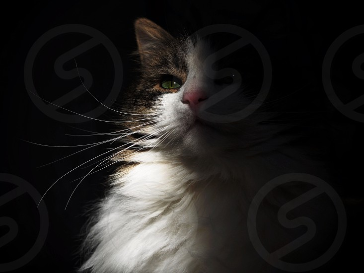 King cat pet sun shadow photo