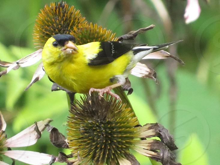 Goldfinch thistle nature bird flower photo