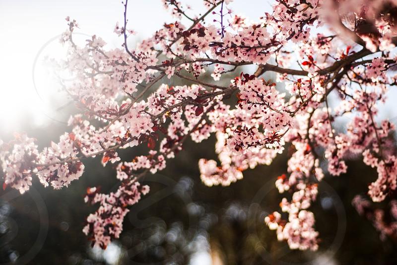 Backlit spring flower branch photo