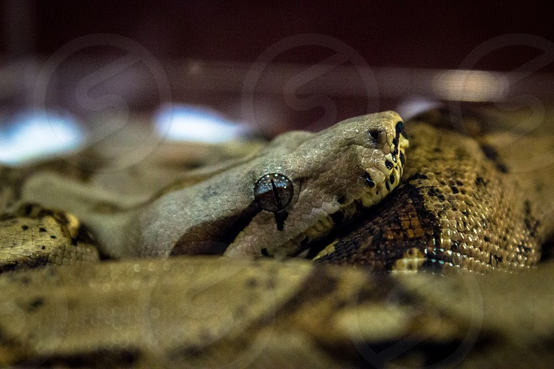 brown and black snake in closeup photo photo