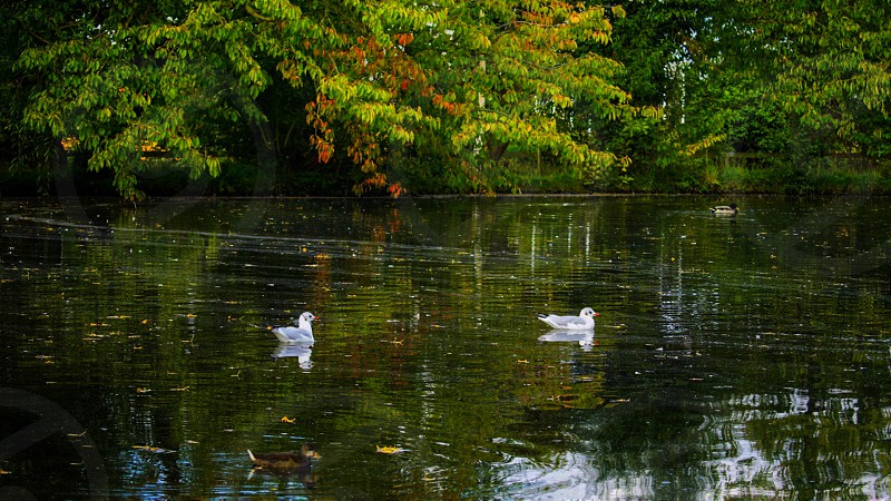 2 gray and white birds swimming on swamp near green trees during daytime photo